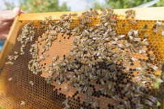 Life of bees. Worker bees. The bees bring honey. Day royalty free stock images