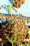 Life of bees. Worker bees. The bees bring honey. Life of bees. Worker bees. The bees bring honey stock photography