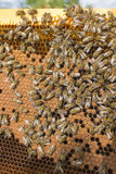 Life of bees. Worker bees. The bees bring honey. Summer stock image