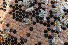 Life of bees. Worker bees. The bees bring honey. Summer royalty free stock photo