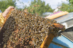 Life of bees. Worker bees. The bees bring honey. Summer. beekeepers work on an apiary. People in overalls in the hive stock photography