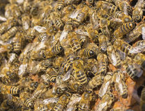 Life of bees. Worker bees. The bees bring honey. Summer. beekeepers work on an apiary. People in overalls in the hive royalty free stock image