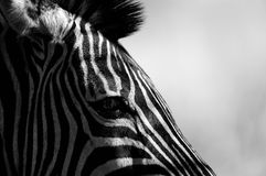 Life in Black and White. Maybe a little cliché, but a black and white zebra is always striking. This one was alone in the wild and so black and white helps Stock Photography