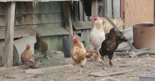 Life in the chicken coops stock video footage