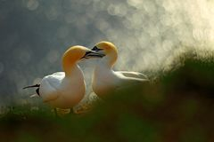 Life on cliff. Portrait of pair of Northern Gannet, Sula bassana, evening orange light in the background. Two birds love in sunset royalty free stock images
