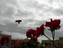 A bee flying near beautifuls red geraniums flowers. royalty free stock photos