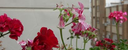 Beautiful red and marbled flowers. A bee near the geraniums. stock images