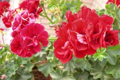 Beautiful red geraniums flowers with a bee flying near of them. Life in colours, flowers are beautiful, flowers are a rainbow , God created flowers, I love royalty free stock photography