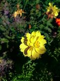 Life of cosmos flower royalty free stock photography