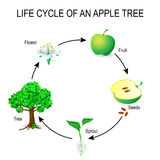 Life cycle of an apple tree. Flower, seeds, fruit, sprout, seed and tree.  The most common example of germination from a seed and life cycle of tree. Useful Stock Photos