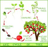 Life cycle of apple tree. On white background Royalty Free Stock Photography