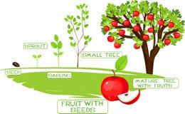 Life cycle of apple tree Stock Image
