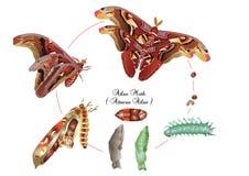 Life cycle of atlas moth Stock Image