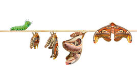 Life cycle of attacus atlas moth on white Royalty Free Stock Photo