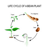 Life cycle of a bean plant. Stages of growing of bean seed. The most common example of life cycle from a seed to adult plant. Plant Development. Useful for Royalty Free Stock Images