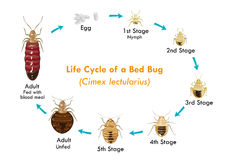 Life Cycle of the Bed Bug vector eps10. Illustration of thge Bed Bugs life cycle from egg to nymph to adult Stock Photography