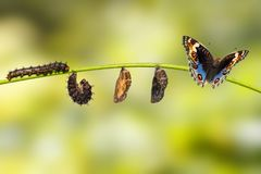 Life cycle of blue pansy butterfly Junonia orithya Linnaeus stock images