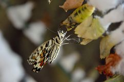 Life cycle of butterflies. Butterfly chrysalis. Life cycle of butterflies. Chrysalis and butterfly hanging from the bar stock photography