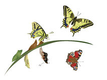 Life cycle of butterfly Royalty Free Stock Images