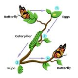 Life cycle of butterfly. Life cycle of butterfl. Eggs, caterpillar, pupa, butterfly. Metamorphosis. Educational biology for kids. Cartoon vector illustration in Stock Photography
