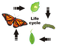 Life cycle of butterfly vector illustration