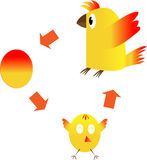 The life cycle of a chicken Royalty Free Stock Image