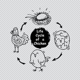 Life cycle of a chicken Royalty Free Stock Photos