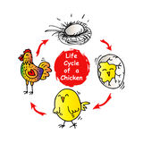 Life cycle of a chicken Stock Photo