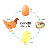 Life Cycle of A Chicken. Chicken life cycle. Egg, embryo, chick and adult chicken Royalty Free Stock Images