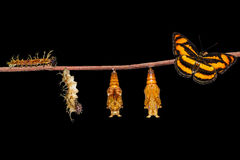 Life cycle of colour segeant butterfly hanging on twig. Life cycle of colour segeant butterfly ( Athyma nefte ) from caterpillar and pupa hanging on twig royalty free stock images