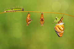 Life cycle of colour segeant butterfly hanging on twig Stock Images