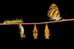 Life cycle of colour segeant butterfly on twig. Life cycle of colour segeant butterfly ( Athyma nefte ) from caterpillar and pupa hanging on twing royalty free stock photography