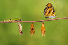 Life cycle of colour segeant butterfly on twig. Life cycle of colour segeant butterfly ( Athyma nefte ) from caterpillar and pupa hanging on twing royalty free stock images