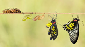 Life cycle of common birdwing butterfly Stock Photos
