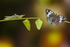 Life cycle of Common Gaudy Baron butterfly Euthalia lubentina. Life cycle of of Common Gaudy Baron butterfly Euthalia lubentina on twig royalty free stock image