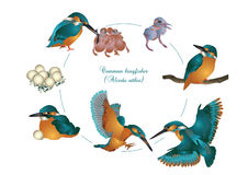Life cycle of common kingfisher Stock Images