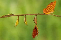 Life cycle of common maplet Chersonesia risa butterfly hangin. G on chrysalis shell and twig with clipping path royalty free stock photography