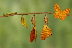 Life cycle of common maplet Chersonesia risa butterfly hangin. G on chrysalis shell and twig stock photography