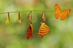 Life cycle of common maplet Chersonesia risa butterfly hangin. G on chrysalis shell and twig royalty free stock photos