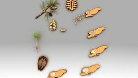 Life Cycle of a Conifer. Pine trees are conifers cone bearing and carry both male and female sporophylls on the same mature sporophyte Royalty Free Stock Photos