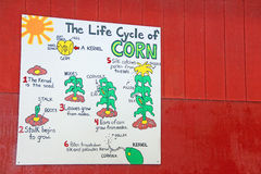 Life cycle of corn poster Royalty Free Stock Photo