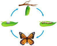 Life cycle - Danaus plexippus. Illustration of the life cycle of a Danaus plexippus on a white background Royalty Free Stock Images