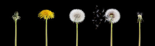 Life cycle of a dandelion Stock Image