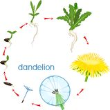 Life cycle of dandelion plant or taraxacum officinale. Stages of growth from seed to adult plant. Isolated on white background royalty free illustration