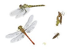 Life cycle of dragonfly Stock Photography