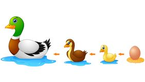 Life cycle of a duck. Illustration of Life cycle of a duck Royalty Free Stock Image