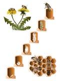 Life cycle of European honey bee Royalty Free Stock Image