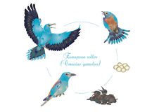 Life cycle of European roller Stock Photography