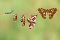 Life cycle of female attacus atlas moth from caterpillar and cocoon stock image