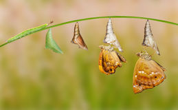 Life cycle of female black prince butterfly. Hanging on twig stock image